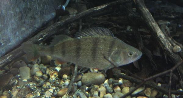 Hintergrundwissen zu fischarten flussbarsch for Fische arten