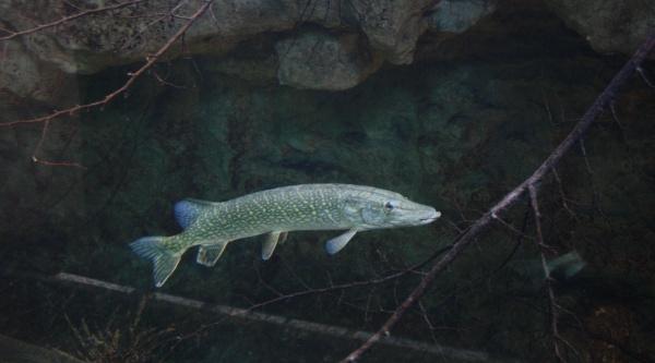hecht-fisch