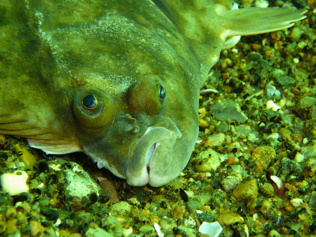 Fischarten an der Ostsee